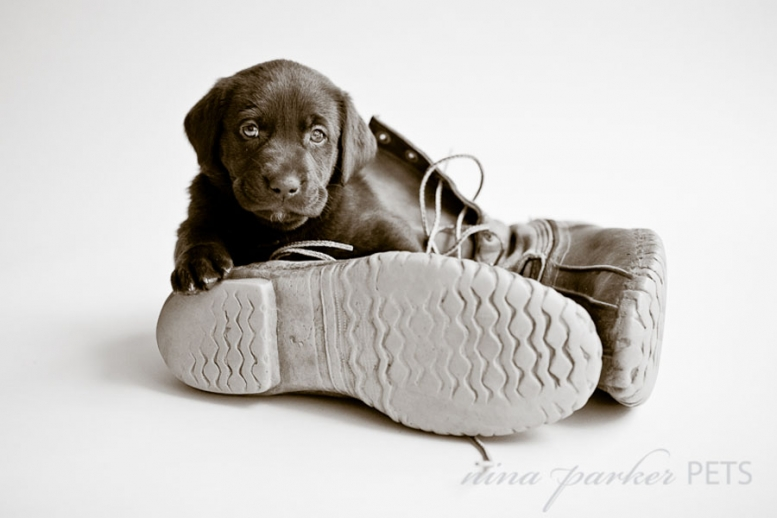 chocolate lab puppy in a boot