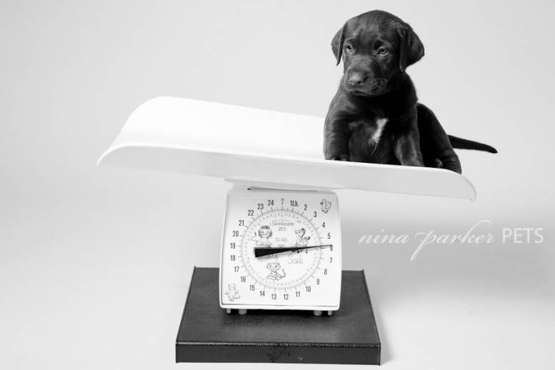 chocolate lab puppy on a baby scale
