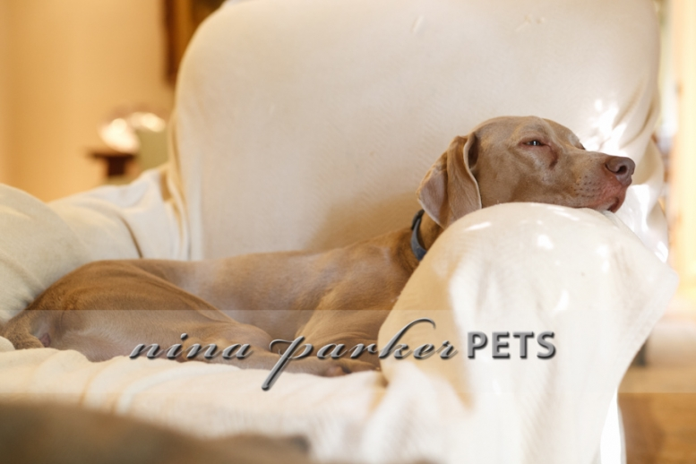 Weimaraner_in_chair_IMG_6728_NinaParkerPets
