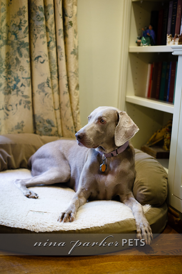 Weimaraner_on_cushion_IMG_6753_NinaParkerPETS