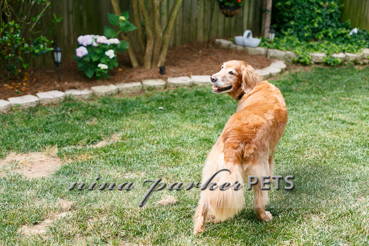 Golden_Retriever_Atlanta_NinaParker_PETS_IMG_0127