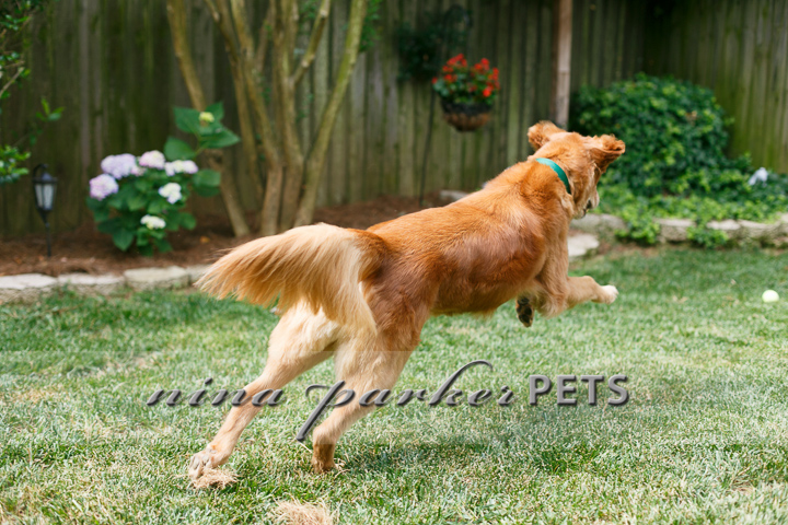 Golden_Retriever_Atlanta_NinaParker_PETS_IMG_0132