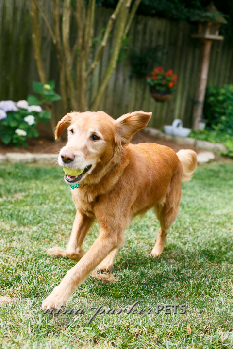 Golden_Retriever_Atlanta_NinaParker_PETS_IMG_0156