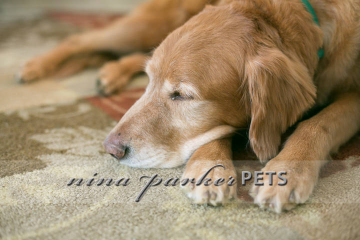 Golden_Retriever_Atlanta_NinaParker_PETS_IMG_0195