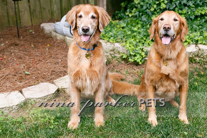 Golden_Retriever_Atlanta_NinaParker_PETS_IMG_0239