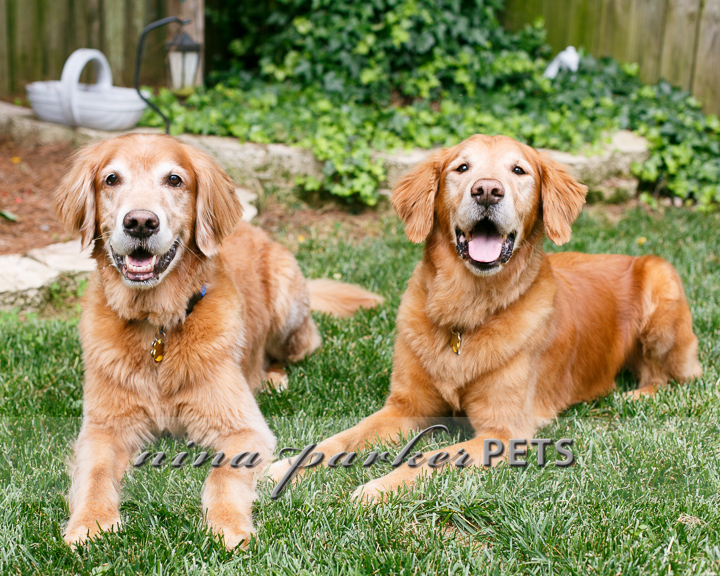 Golden_Retriever_Atlanta_NinaParker_PETS_IMG_0244