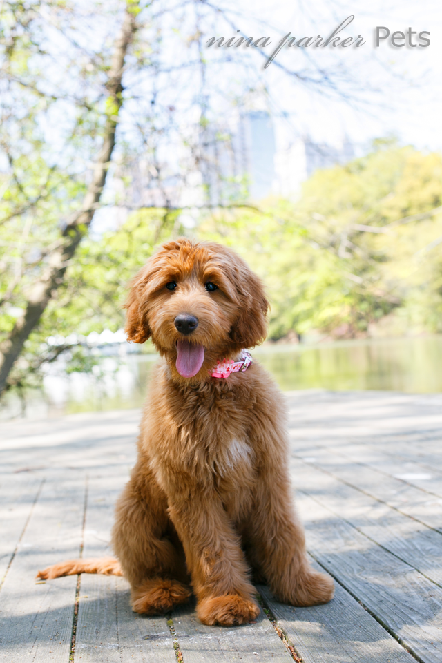 Atlanta-dog-photographer-Piedmont-Park-dock-goldendoodle-Nina-Parker