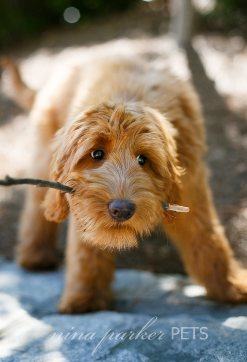 Atlanta-dog-photographer-Piedmont-Park-goldendoodle-Nina-Parker