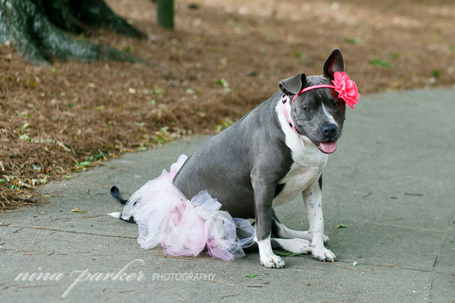 Pitbull-Photoshoot-NinaParkerPhotography-Shelby0161