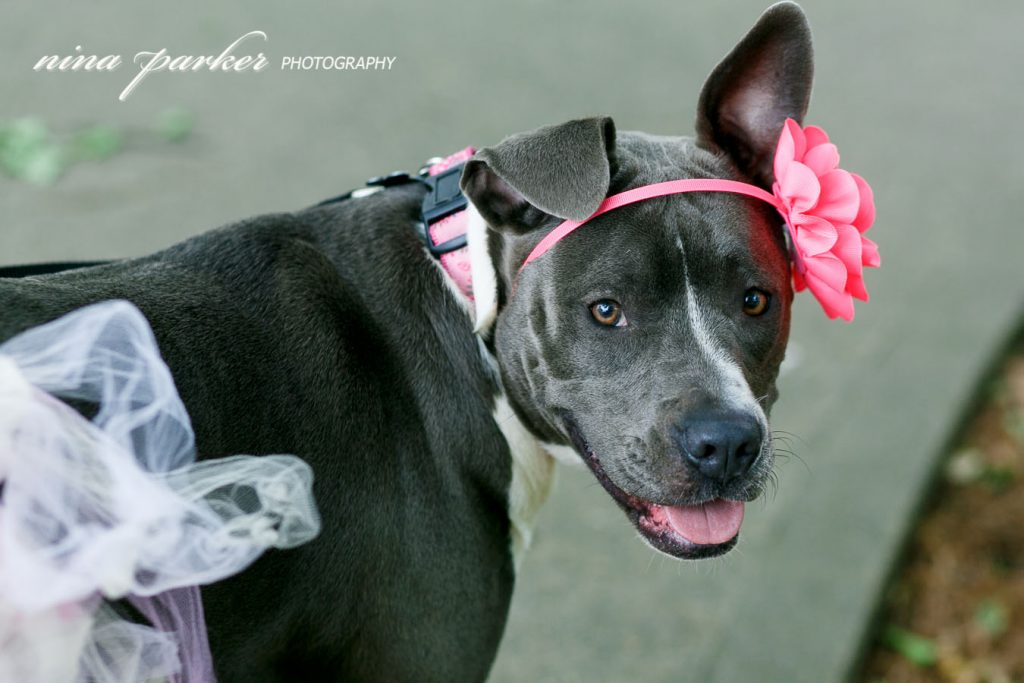 Pitbull-Photoshoot-NinaParkerPhotography-Shelby0165
