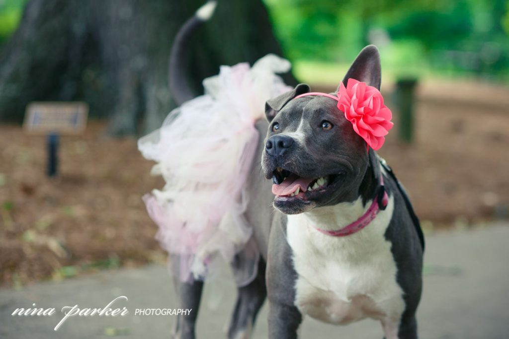 Pitbull-Photoshoot-NinaParkerPhotography-Shelby0170