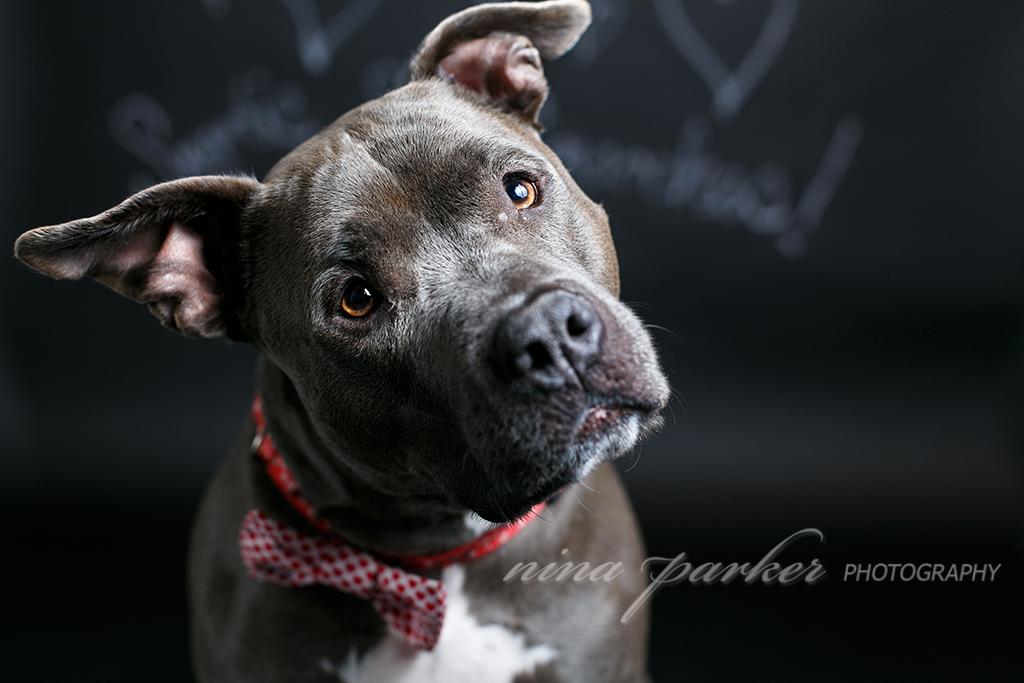 Atlanta_Dog_Photographer_Pitbull_NinaParkerPhotography-0319
