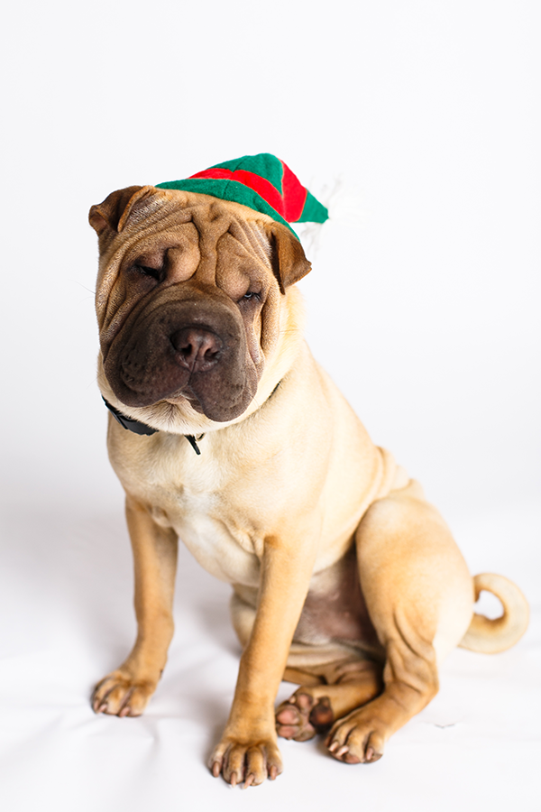 Sharpei_Elf_hat_Christmas_Dogphotography_NinaParker