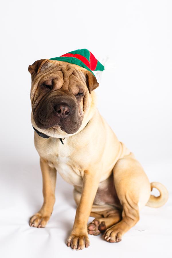 Sharpei_Elf_hat_Christmas_Dogphotography_NinaParker