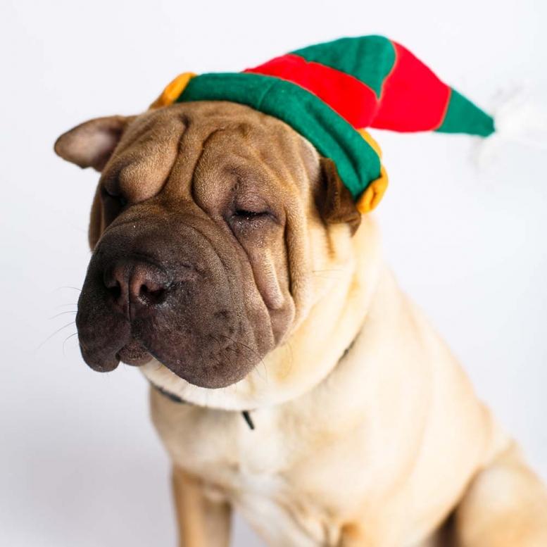 Sharpei_Elfhat_Christmas_Dogphotography_NinaParker