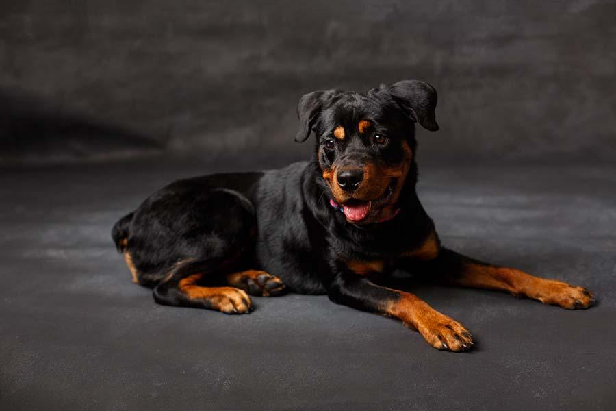 raisin_rottweiler_dogportrait_atlantaphotographer_ninaparker_website