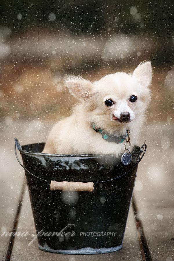 chihuahua_snow_atlanta_dogphotographer_ninaparker_1304