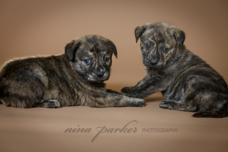 puppies__siblings_brindle_atlanta_dogphotography_ninaparkerpets_4978_w