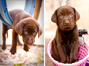 Chocolate_Lab_Puppy_swing_basket_Atlanta_NinaParkerPets-c47.png