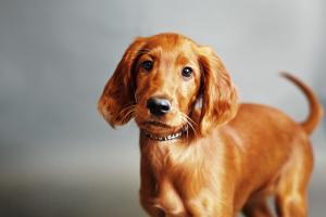 IrishSetter-Puppy-AtlantaDogPortrait-NinaParkerPhotography-2-c24.png